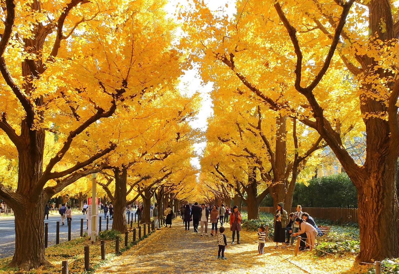 約300mのイチョウ並木が有名な明治神宮外苑は、都内屈指の紅葉スポット🍁 落ち葉が敷き詰められた「黄色いじゅうたん」